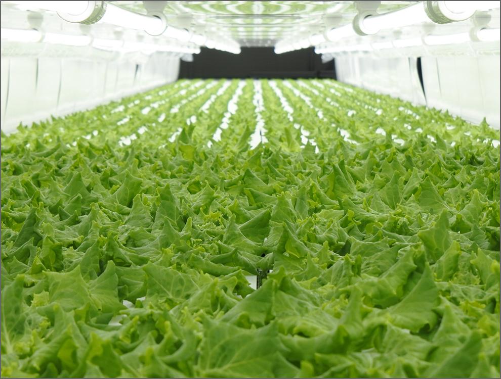 Vitec Farm Nanao Co. Ltd<br>Lettuce Farming scenery (Nanao Factory)